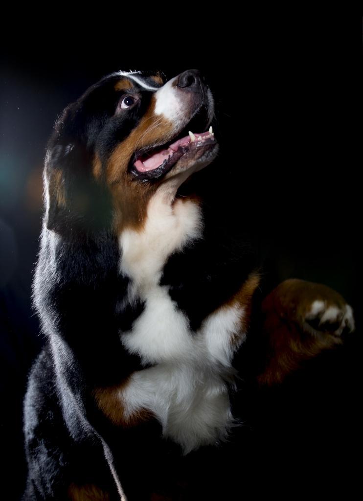 fotografering av hundar